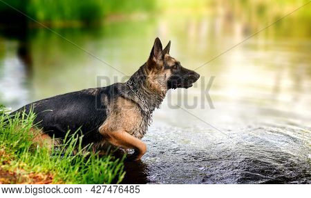 Young German Shepherd Dog Jumping And Playing In The Lake Water