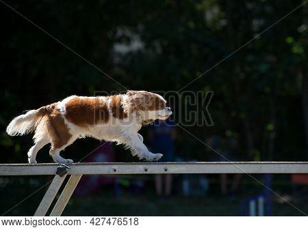 Cavalier King Charles Spaniel Doing Agility Exercises On A Beam.
