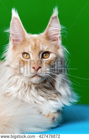 Portrait Of Red Tabby American Forest Cat Looking At Camera. Pretty Fluffy Longhair Cat Lying On Lig