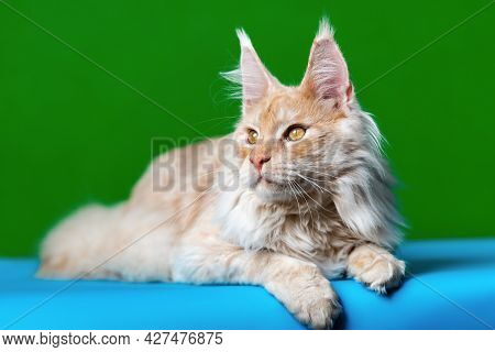 Curiosity Longhair Cat Breed Maine Coon Cat. Portrait Of Red Tabby Animal Lying Down On Light Blue A