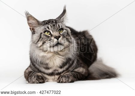 Portrait Of Furry Mackerel Tabby Male American Maine Coon Cat Lying And Looking Up. Front View Studi