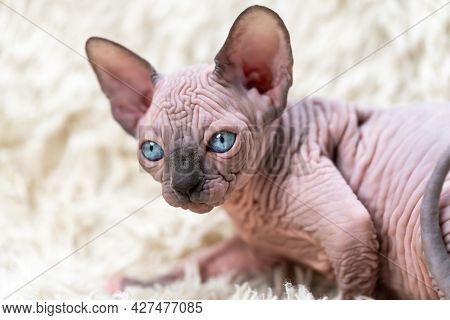 Portrait Of Canadian Sphynx Cat Kitten With Big Blue Eyes Lying On White Carpet With Long Pile. Side