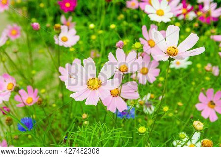 Pink And Lilac Meadow Flowers Of Cosmos. Cosmeya Flower.