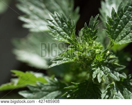 Urtica Dioica, Often Known As Common Nettle, Stinging Nettle Or Nettle Leaf, Or Just A Nettle Or Sti