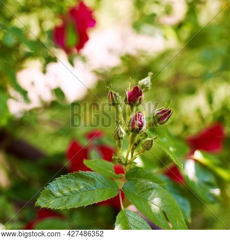 Fresh Beautiful Rose Buds Highlighted With A Sunbeam