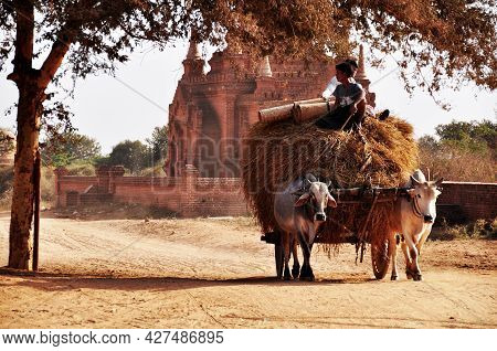 Burmese Men People Riding Cow Pull Wooden Cart On Dirt Street And Pick Up Carry Rice Straw And Dry G