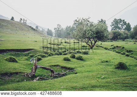 Green Foggy Mountain View To Beautiful Willow Tree Among Hills And Copse In Fog. Vintage Mountain La