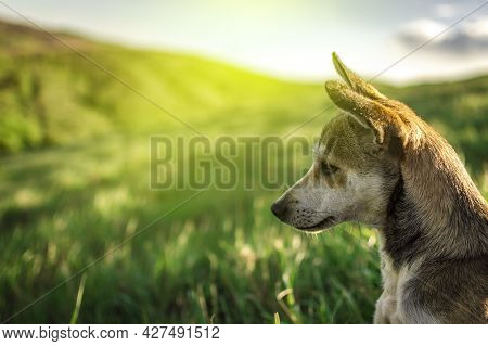 Portrait Of A Dog In The Field, Close Up Of A Dog In The Field With Copy Space