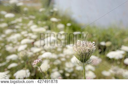 Softly Focused Budding Wild Carrot Plant In The Foreground Of A Large Field Of White Flowering Wild