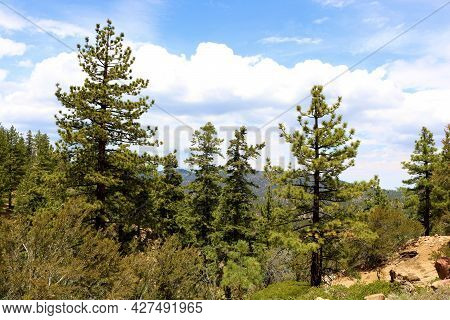 Lush Pine Trees And Chaparral Plants On An Alpine Plateau Taken At A Coniferous Forest In The Rural