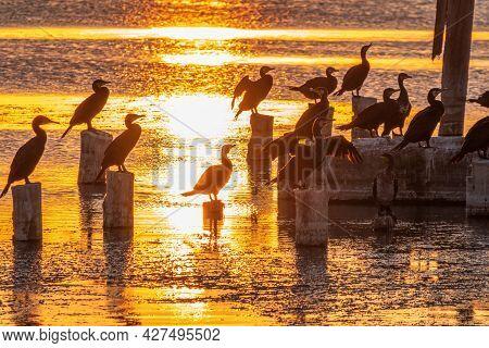 A Flock Of Cormorants Sits On A Old Sea Pier In Orange Sunset Light. The Great Cormorant, Phalacroco