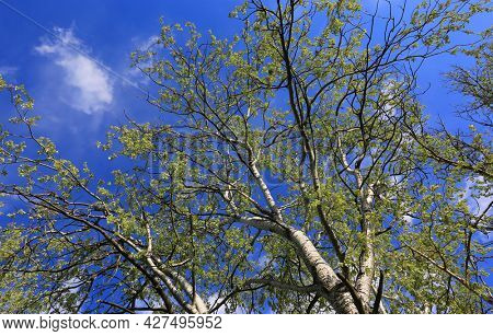 view of the spring sky through the branches of a tree with fresh leafage
