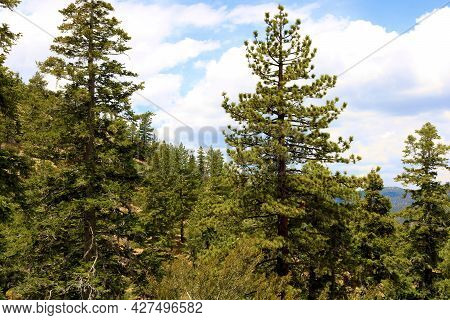 Lush Pine Trees At An Alpine Evergreen Forest Surrounded By Cumulus Clouds During The Summer Monsoon