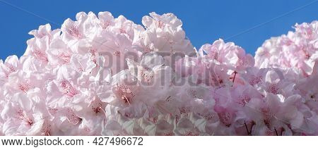 Beautiful And Delicate Rhododendron Pink Flowers On Blue Sky Background Close Up. Evergreen Shrub.