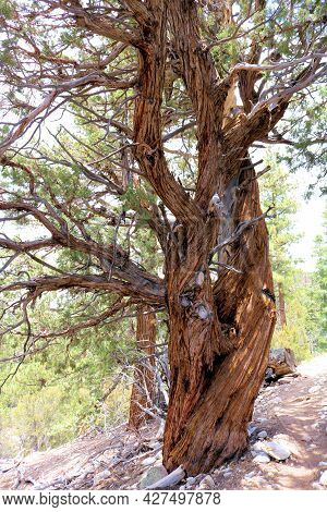 Old Growth Cedar Tree With Its Twisted Branches Taken At An Alpine Coniferous Forest In The Rural Sa