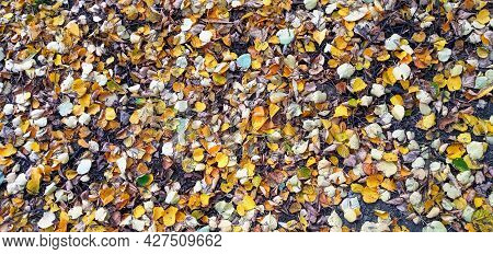 Autumn Beauty Of Nature. Autumn Background With Multicolored Leaves. Fallen Leaves Of Goldenrain Tre