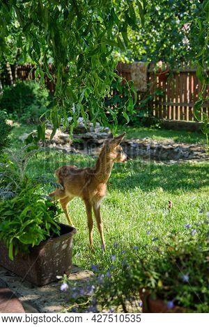 Innocent Roe Deer Fawn. Young Wild Deer. Little Morality. Deer Cub. Deer Resting