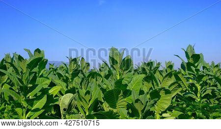 Tobacco Leaves. Close-up Of Tobacco Leaf Detail On A Bright Blue Sky Background