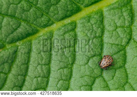 Dermacentor Reticulatus On Green Leaf. Ornate Cow Tick, Ornate Dog Tick, Meadow Tick, And Marsh Tick