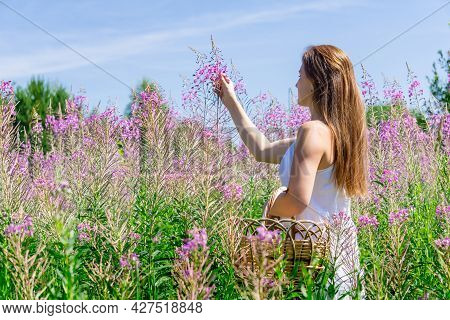 Young Woman Herbalist Gathers Fireweed In A Basket In The Meadow