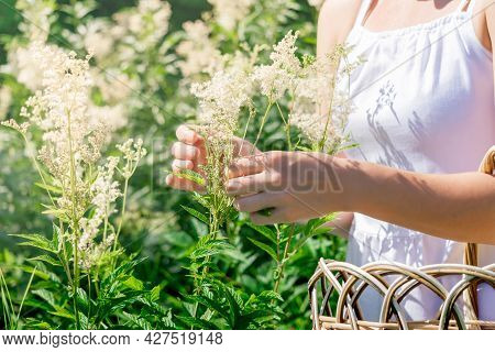 Woman Herbalist Gathers Meadowsweet Inflorescences In A Basket In The Meadow
