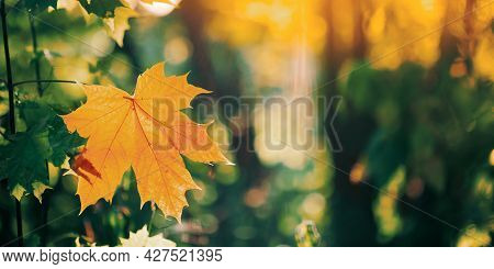 Autumn Yellow Maple Leaf Among Green Foliage. Early Autumn. Panorama Panoramic View.