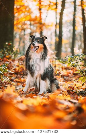 Tricolor Rough Collie, Funny Scottish Long-haired Collie, English Collie, Lassie Dog Outdoors In Aut