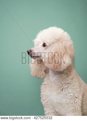 Portrait Of A White Small Poodle. Dog On Mint Background. Beautiful Pet