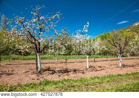 Rows with old plum or pear fruit trees with white blossom in springtime in farm orchards  in Sarajevo, Bosnia and Herzegovina.