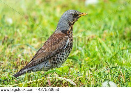 Wood Bird Fieldfare, Turdus Pilaris, On A Sprng Lawn.