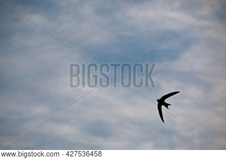 The Swift, Apus Apus, In The Flying. Bird Silhouette In The Sky. Cloudy Weather. Swift Hunts Insects