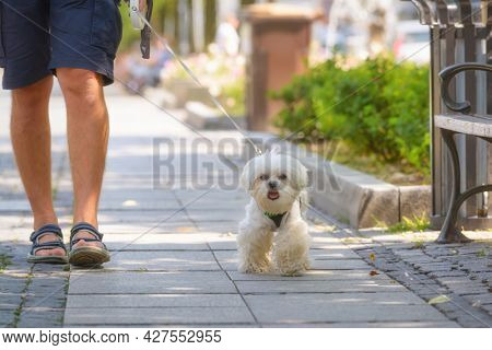 Man walking with Maltese dog in the city