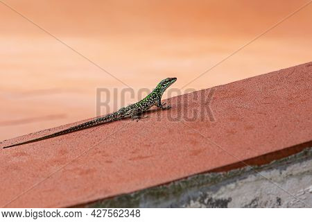 A Small Spotted Bluish-green Lizard On A Terracotta Background. Selective Focus.