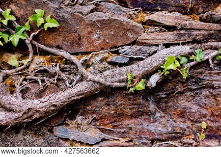 Old stone wall with roots of creeping plants