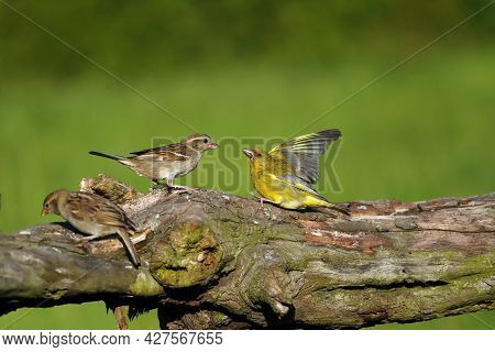 The House Sparrow (passer Domesticus) And European Greenfinch, Or Just Greenfinch (chloris Chloris)
