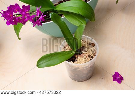 Cultivation Of Orchids At Home. Soil And Substrate For Sall Baby Orchids, Small Young Plants, Orchid