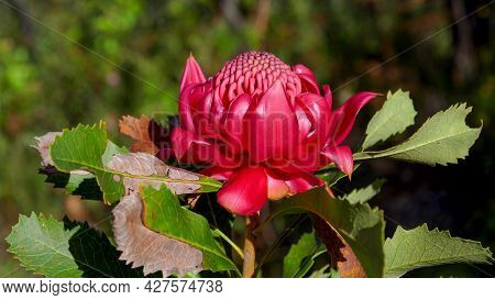 Side View Of A Nsw Waratah Flower On A Spring Afternoon