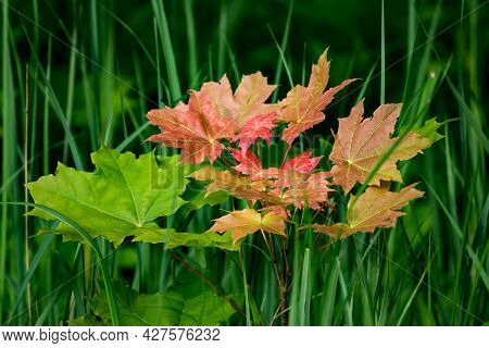 Young Maple Tree With Green-red Leaves Growing In The Middle Of The Grass