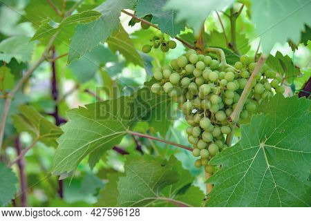Bunch Of Green Unripe Grapes Hangs On Bush Among Green Leaves In Close-up With Place For Text.  Agri