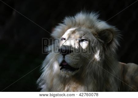 Close up of White Lion Head in sun and shade