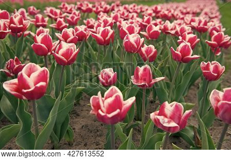 Country Of Tulip. Beauty Of Blooming Field. Famous Tulips Festival. Nature Background. Group Of Pink