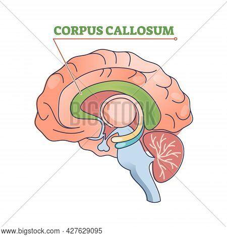 Corpus Callosum Educational Brain Part Location In Brain Outline Diagram. Human Body Physiology Lear