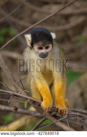 Head On Closeup Portrait Of Golden Squirrel Monkey (saimiri Sciureus) Sitting On Branch Looking At C