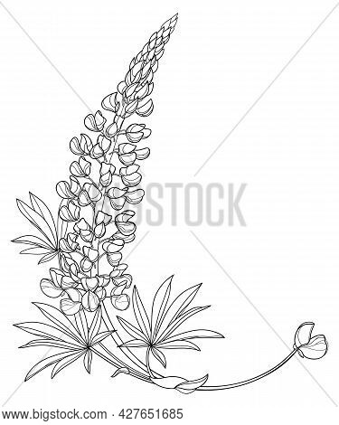 Vector Corner Bouquet With Outline Lupine Or Bluebonnet Flower Bunch With Bud And Leaf In Black Isol