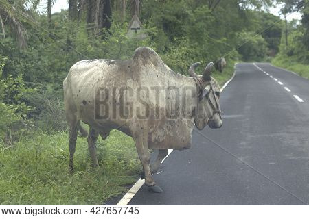Bulls On The Roadside Grazing On The Grass Grow After Monsoon.