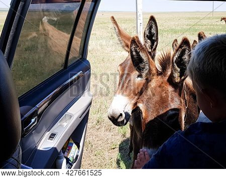 Donkeys Look Into The Travelers ' Car. Cute Donkeys On The Roadway Ask People For Food. Curious Ungu