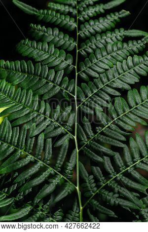 Green Fern Tree Growing In Summer. Fern With Green Leaves On Natural Background. Natural Floral Fern