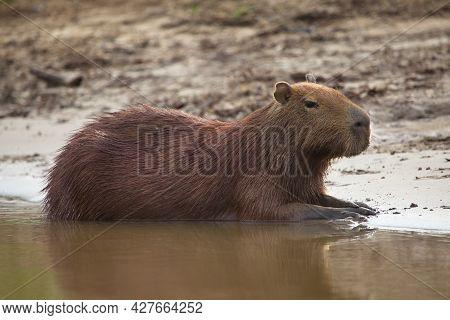 Side On Portrait Of Capybara (hydrochoerus Hydrochaeris) Sitting On Riverbank Half Submerged In Wate