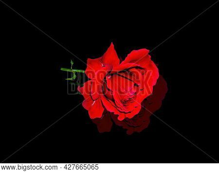 Red Rose Flower On A Black Background. Red Rose. Blooming Flower. Reflection On Glass. Day Of Rememb