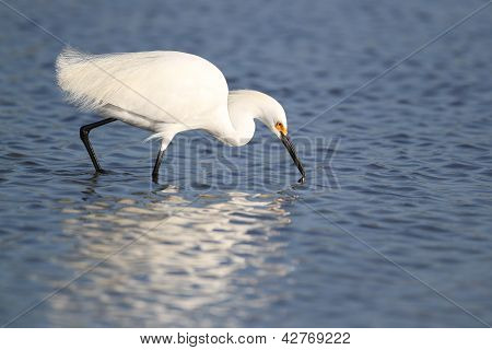 Snowy Egret Foraging For Food